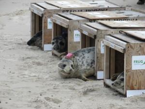 Foki urodzone w fokarium już na wolności !W dniu 8 maja w Słowińskim Parku Narodowym do Bałtyku uwolnione zostały pierwsze w tym roku cztery focze szczenięta – Posejdon, Pływacz, Pąkla i Pomeranka.